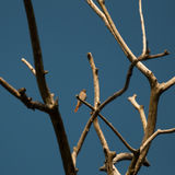 Redstart, female on a twig (Phoenicurus phoenicurus) Stock Photos