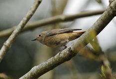 Redstart femelle Photos stock
