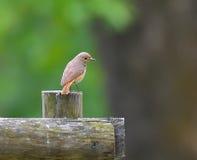Redstart femelle sur la barrière Photos stock