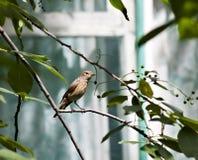 Redstart femenino que se sienta en una rama de árbol fotos de archivo