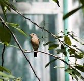 Redstart femenino que se sienta en una rama de árbol imagen de archivo libre de regalías