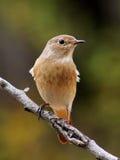 Redstart femminile fotografia stock libera da diritti