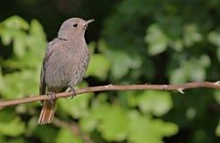 Redstart femminile su un ramo Immagine Stock Libera da Diritti