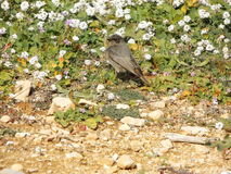 Redstart in Hedgerow Stock Photography