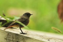 Redstart Stock Photo