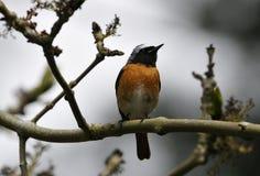 Redstart maschio Immagini Stock Libere da Diritti