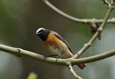 Redstart masculino Fotos de Stock