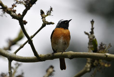 Redstart masculino Imágenes de archivo libres de regalías