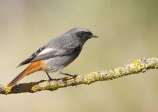 Redstart negro Fotografía de archivo