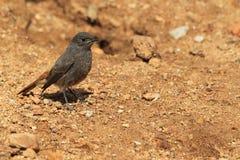 Redstart negro Imagen de archivo libre de regalías