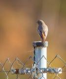 Redstart negro en polo del metal Fotografía de archivo