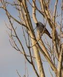 Redstart negro masculino Foto de archivo libre de regalías