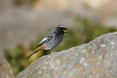 Redstart negro, ochruros del Phoenicurus Fotos de archivo libres de regalías