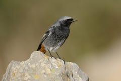 Redstart negro, ochruros del Phoenicurus Imágenes de archivo libres de regalías
