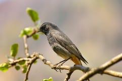 Redstart nero (ochruros del Phoenicurus) Fotografia Stock Libera da Diritti