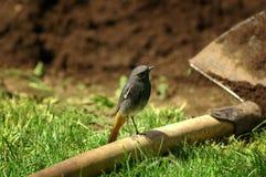 Redstart nero (ochruros del Phoenicurus) Fotografia Stock