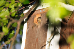 Redstart nestling loking out from a birdhouse Stock Image