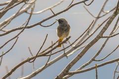 Redstart noir et x28 ; Ochruros& x29 de Phoenicurus ; sur l'arbre Photographie stock