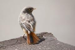 Redstart noir juvénile photographie stock libre de droits