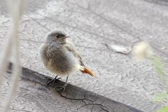 Redstart noir juvénile photos libres de droits