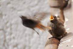 Redstart noir juvénile après alimentation photographie stock