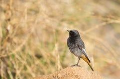 Redstart noir masculin (ochruros de Phoenicurus) photographie stock
