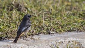 Redstart noir masculin sur le trottoir photos stock