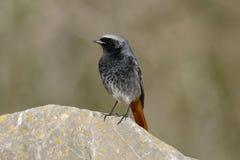 Redstart noir, ochruros de Phoenicurus Image stock