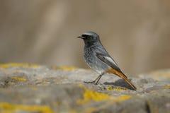 Redstart noir, ochruros de Phoenicurus Image libre de droits