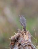 Redstart noir sur une racine Image stock