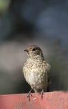 Redstart op een omheining Royalty-vrije Stock Foto
