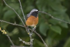 Redstart phoenicurus bird Royalty Free Stock Image