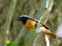 Redstart - phoenicurus del Phoenicurus Fotografie Stock