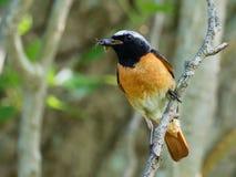 Redstart - phoenicurus del Phoenicurus Fotografia Stock Libera da Diritti
