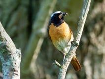 Redstart - phoenicurus del Phoenicurus Fotos de archivo libres de regalías