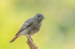 黑Redstart - Phoenicurus ochruros 免版税图库摄影