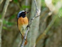 Redstart - phoenicurus Phoenicurus Стоковые Изображения