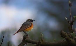 Redstart portrait