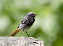 Redstart preto masculino. Imagem de Stock