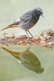 Redstart preto masculino Imagem de Stock Royalty Free