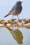 Redstart preto masculino Fotos de Stock