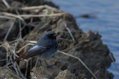 Redstart preto novo fotografia de stock