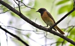Redstart que se sienta en una rama de árbol foto de archivo libre de regalías