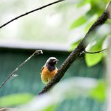 Redstart que se sienta en una rama de árbol foto de archivo