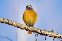 Redstart que se sienta en una rama de un alerce Fotografía de archivo