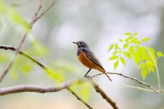 Redstart royalty free stock photography