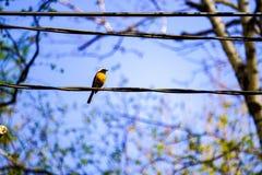 Redstart siedzi na drucie w wiosna parku, niebieskie niebo obraz stock