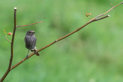 Redstart. Sitting on a branch Stock Photography