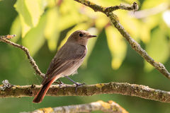 Redstart in the sun. Redstart bird on a branch of a tree in the sun Stock Photos