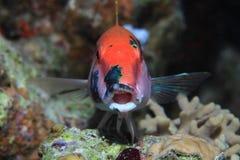 Redstriped goatfish Stock Photos